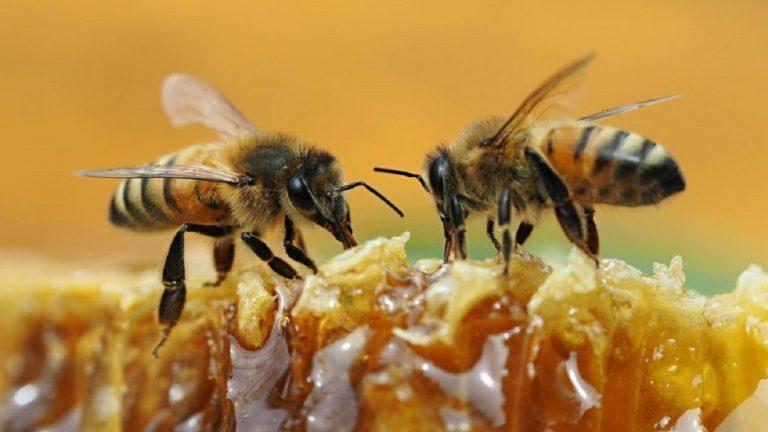 Declaran a la abeja como el ser vivo más importante de la Tierra
