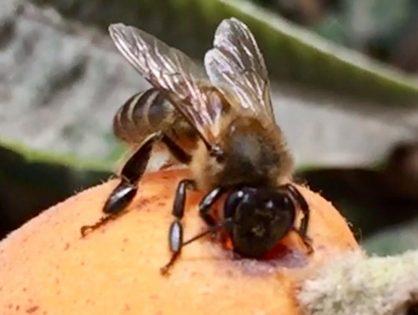 Coronavirus y apicultura: Aclarando dudas de apicultores
